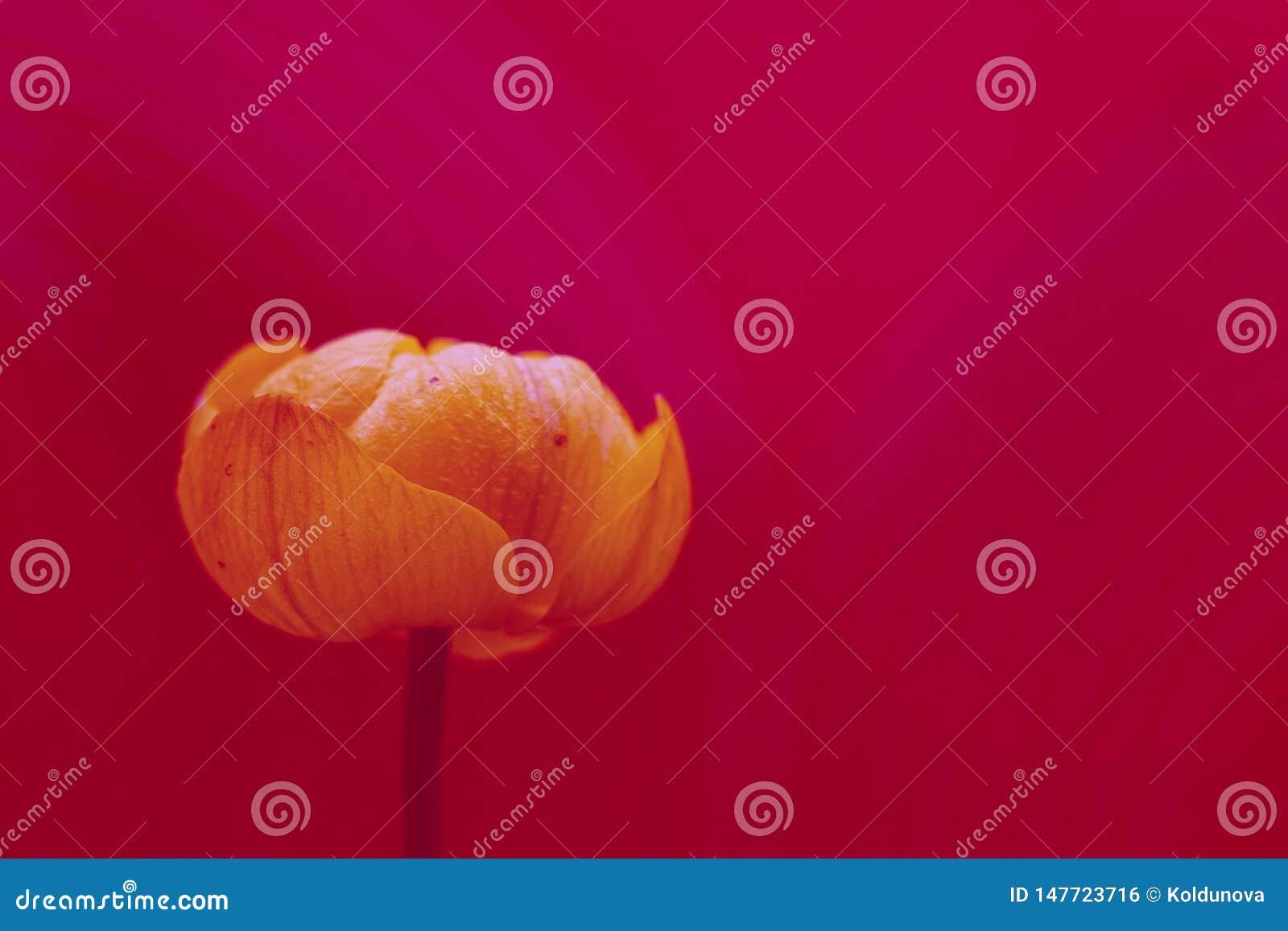Flower Trollius europaeus. Beautiful, bright filtered photo. Macro