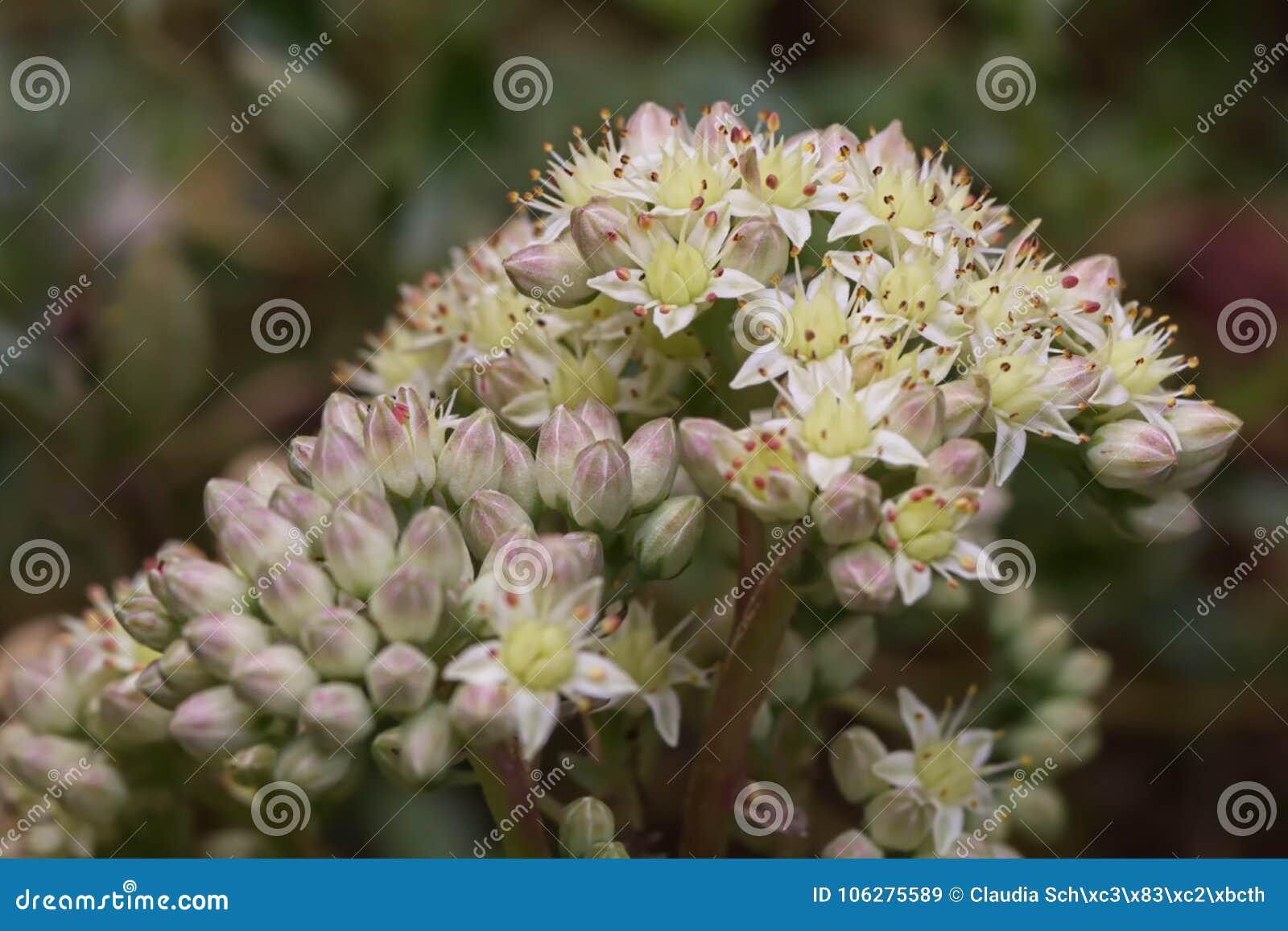 The flower umbel of an orpine Hylotelephium telephium ssp. telephium
