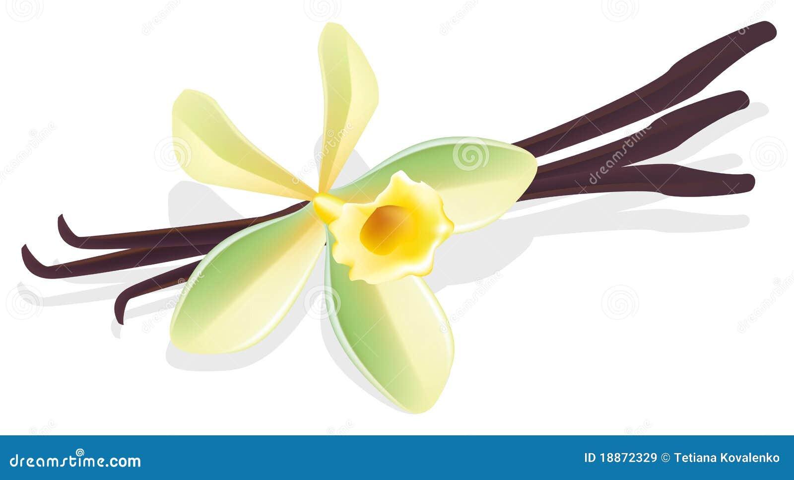 Flower Vanilla. Dried Pods. Vector Illustration. Stock