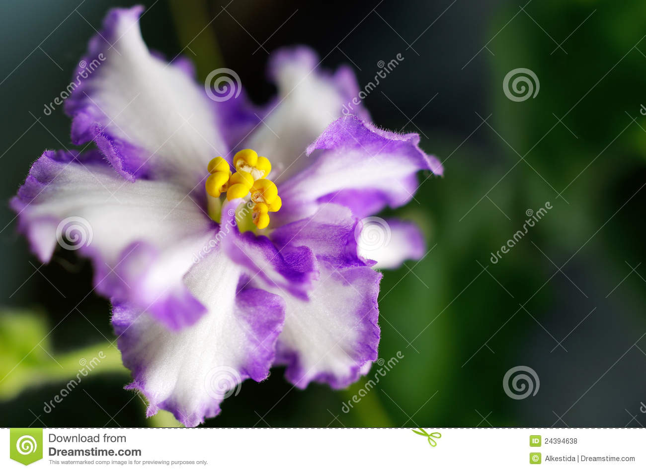 Flower violet home on a dark background royalty free for Violet home
