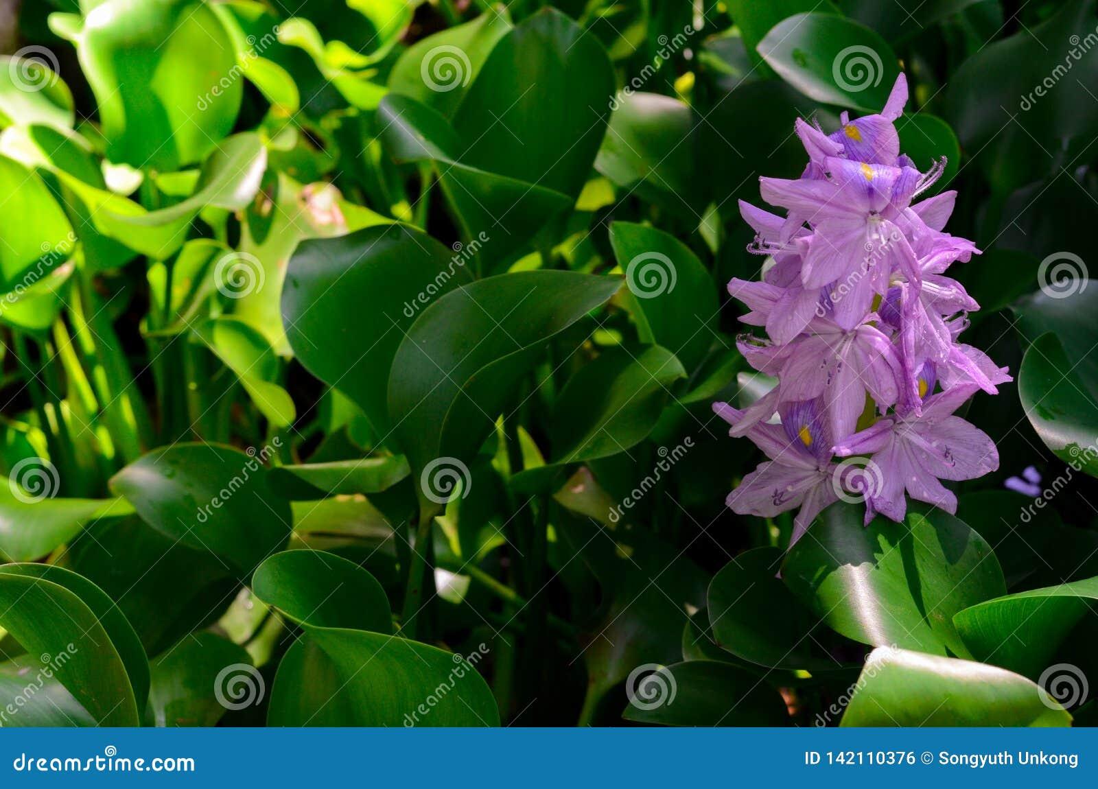 Flower of Water Hyacinth tree