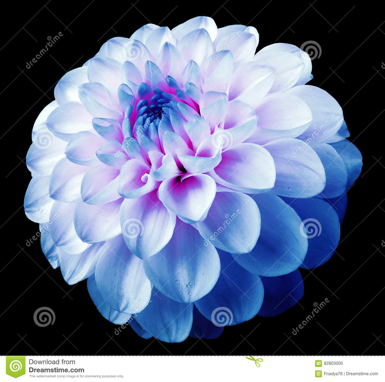 Flower White Blue Dahlia Black Isolated Background With Clipping
