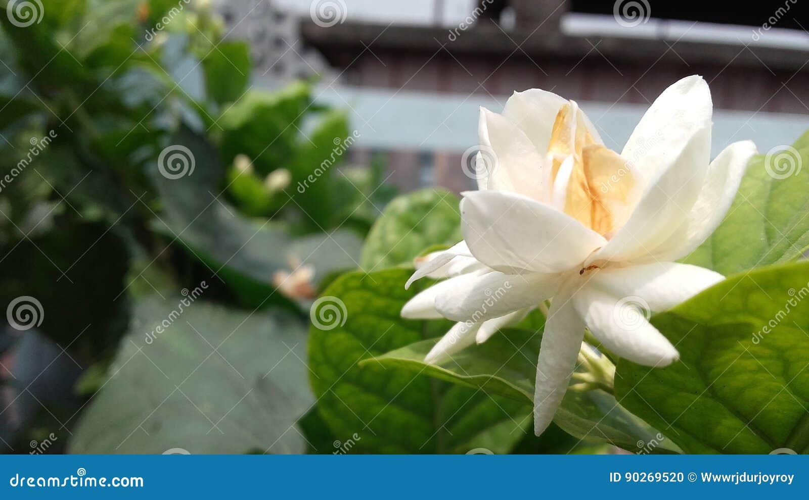 Flower Stock Photo Image Of Whiteis Plant Backyard 90269520