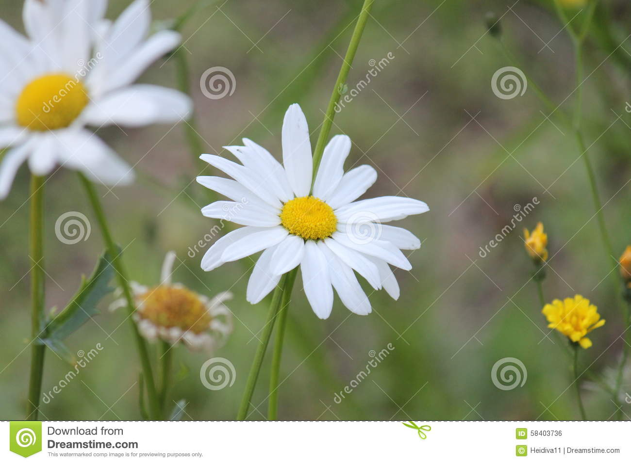 Flower Stock Photo Image Of Daisy Background Green 58403736