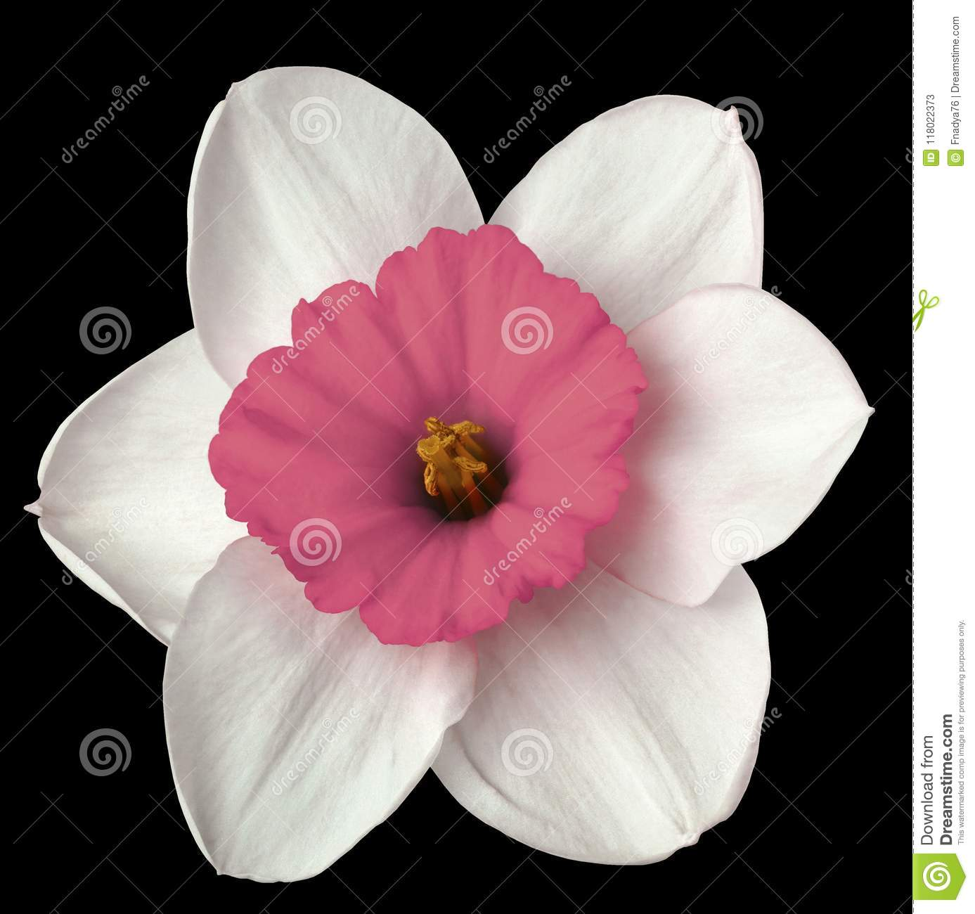 Flower White Pink Narcissus On The Black Isolated Background With