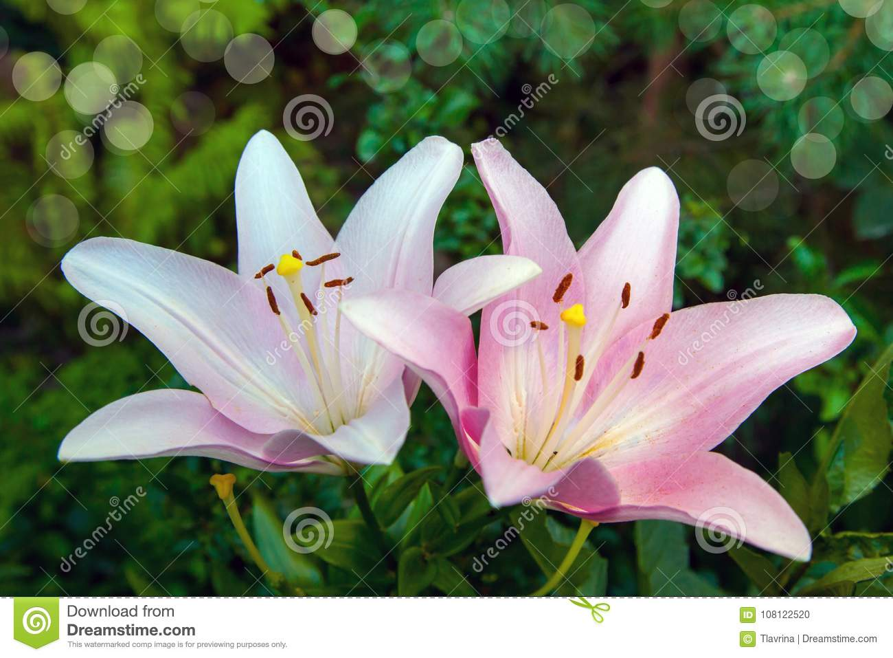Flower White Rose Lily Close Up In The Garden Stock Photo Image Of
