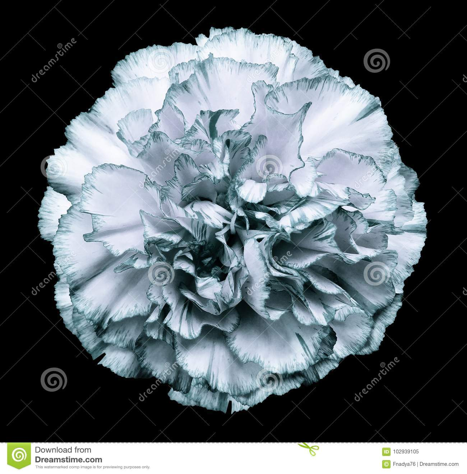 Flower White Turquoise Carnation On The Black Isolated Background