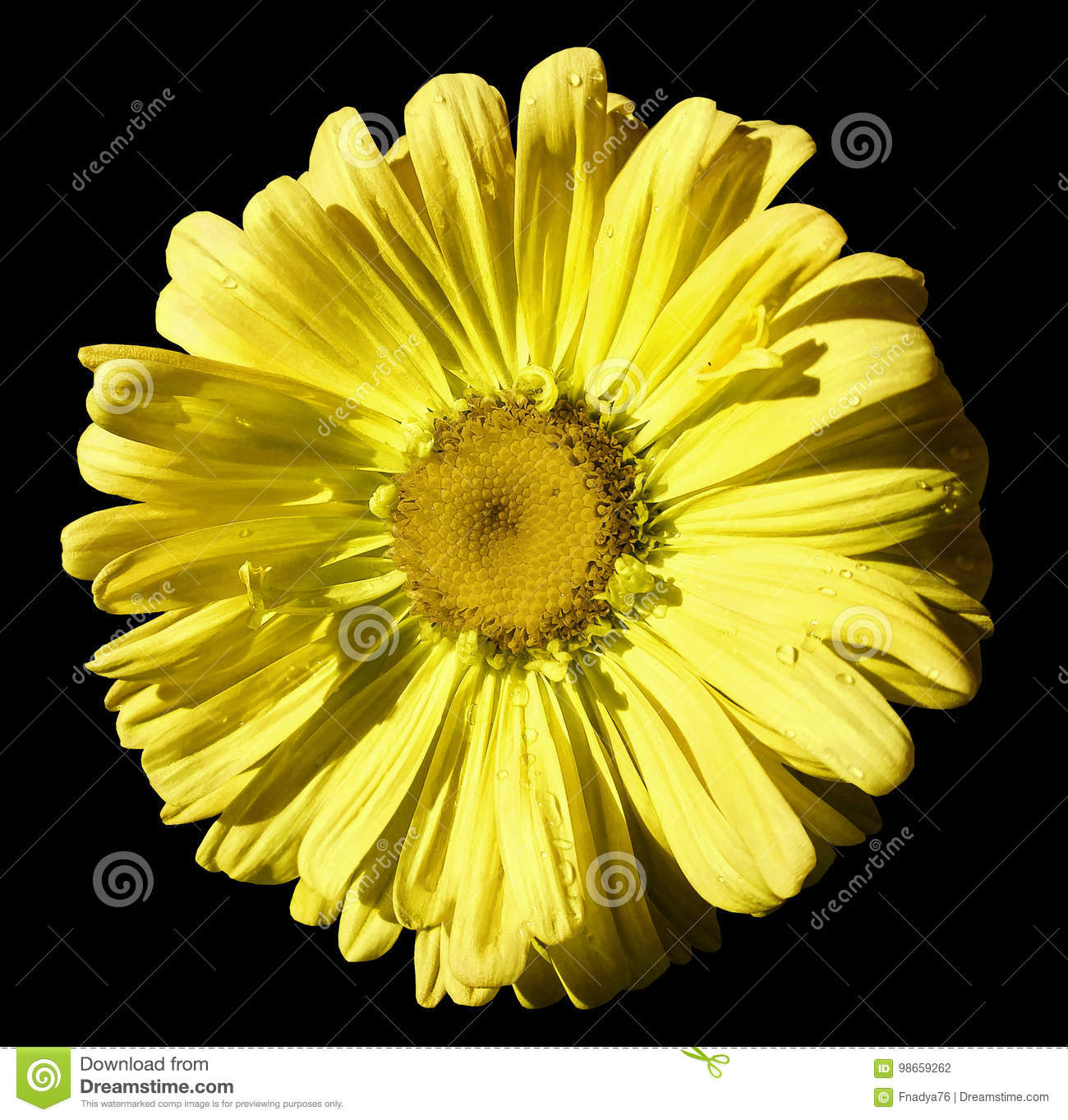 Flower yellow Chamomile on black isolated background with clipping path. Daisy orange-yellow with droplets of water for design. C