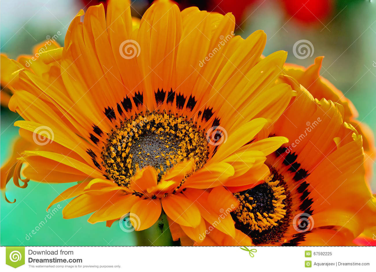 Flower With Yellow Petals And A Distinctive Black Center Stock Image