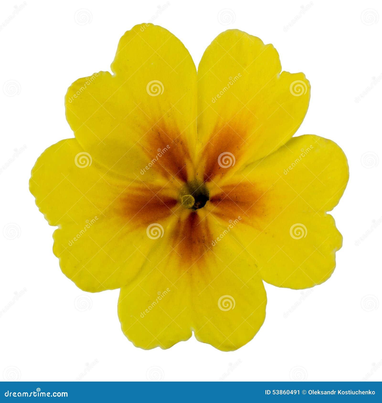 Flower Of Yellow Primrose Isolated On White Background Stock Image