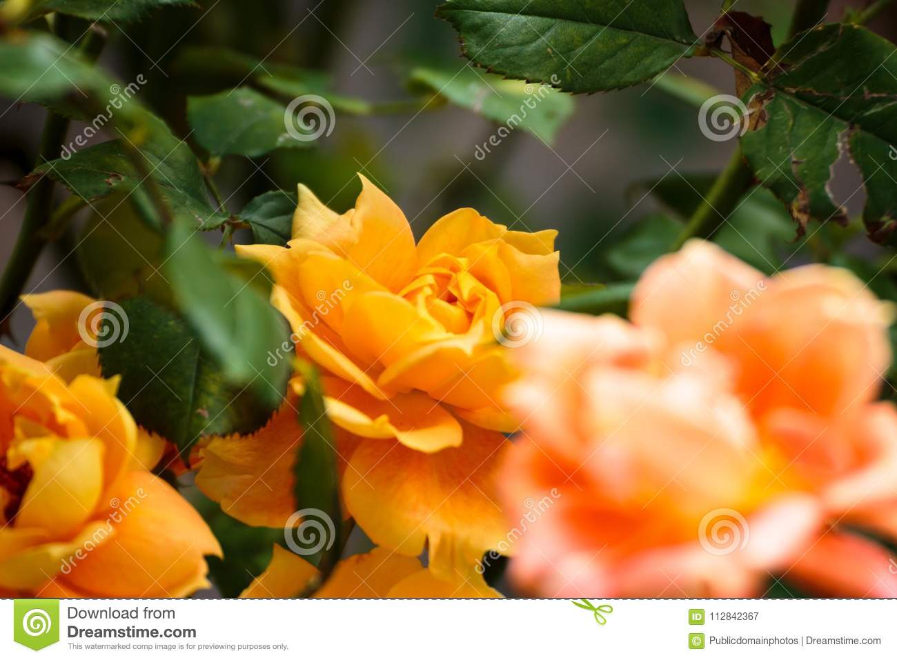 Free Public Domain Cc0 Image Flower Yellow Rose Family Rose