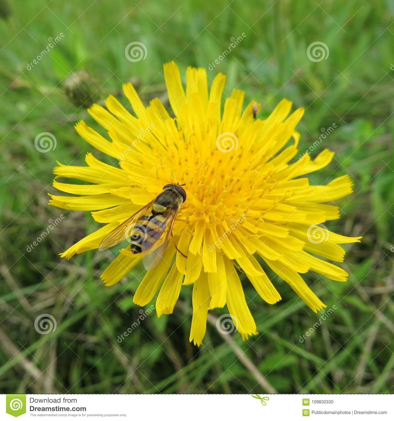 Free Public Domain Cc0 Image Flower Yellow Sow Thistles Flatweed