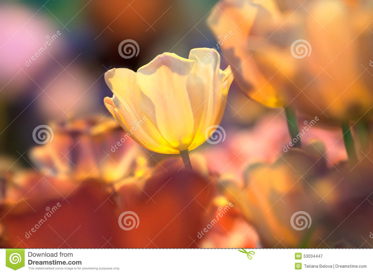 Flower of a yellow tulip on colorfull background