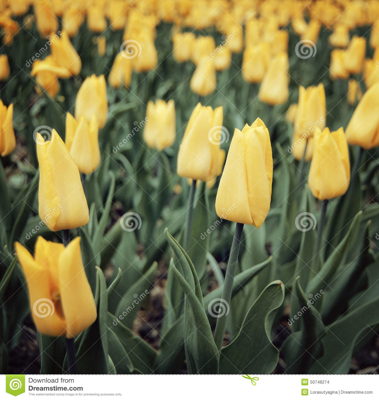 Flowerbad con los tulipanes - efecto del vintage Fondo floral de la primavera - imagen entonada