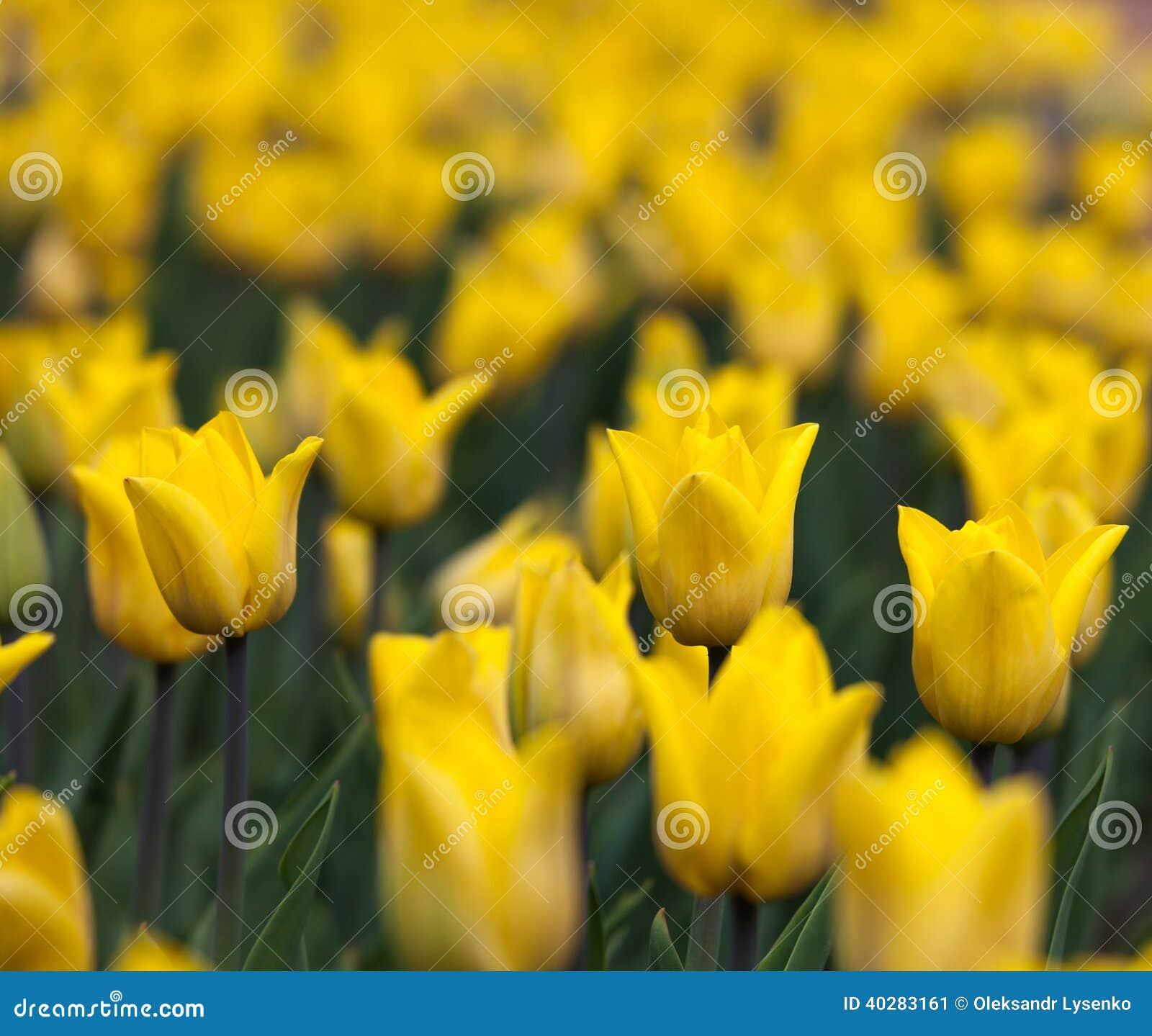 Flowerbed с желтым цветом отпочковывается тюльпаны
