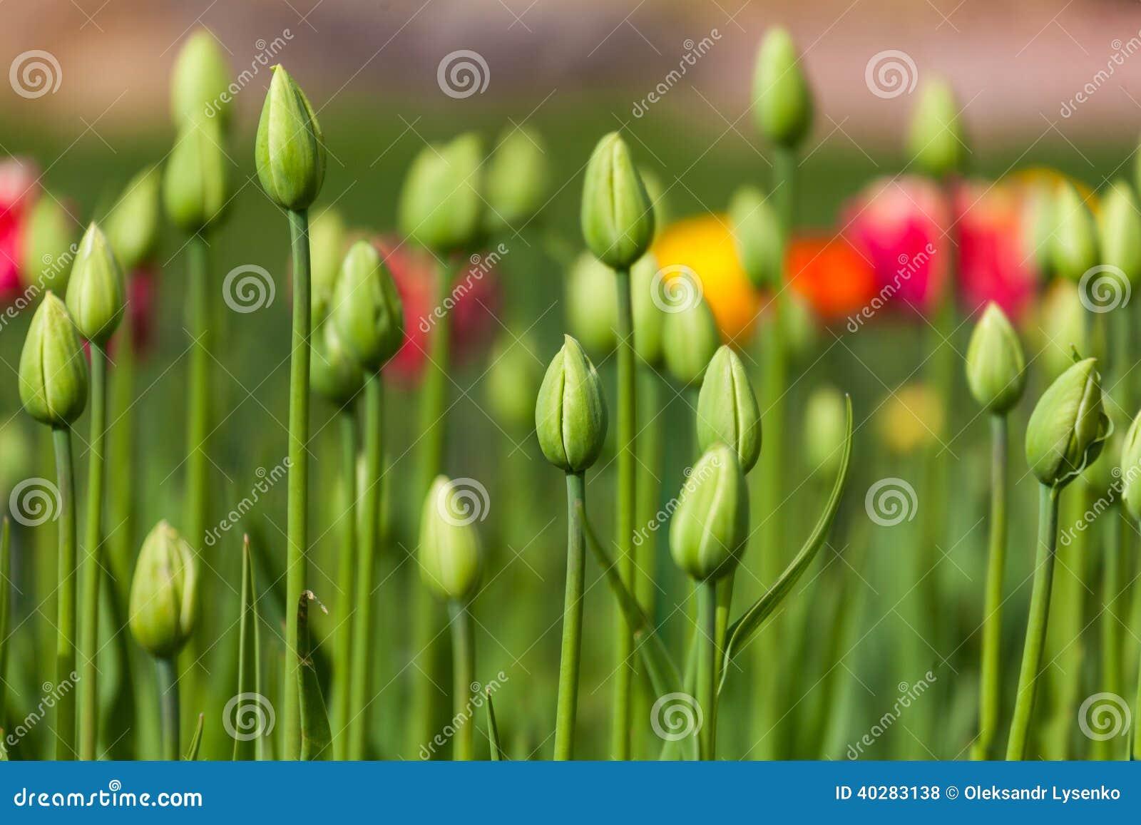 Flowerbed с зелеными бутонами тюльпанов