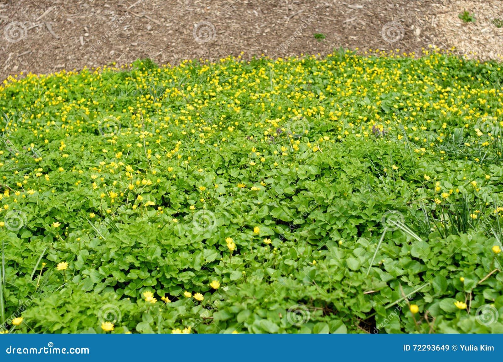 Download Flowerbed с малыми желтыми цветками Стоковое Изображение - изображение насчитывающей bedaub, раньше: 72293649