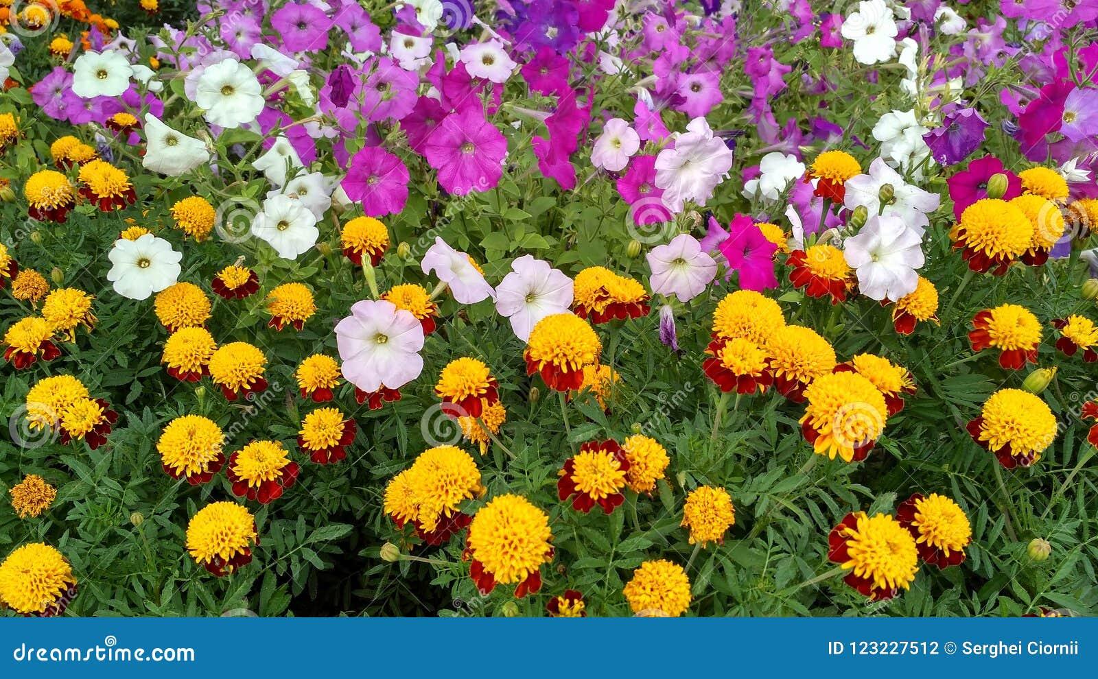 Flowerbed с цветками ноготк и петуньи
