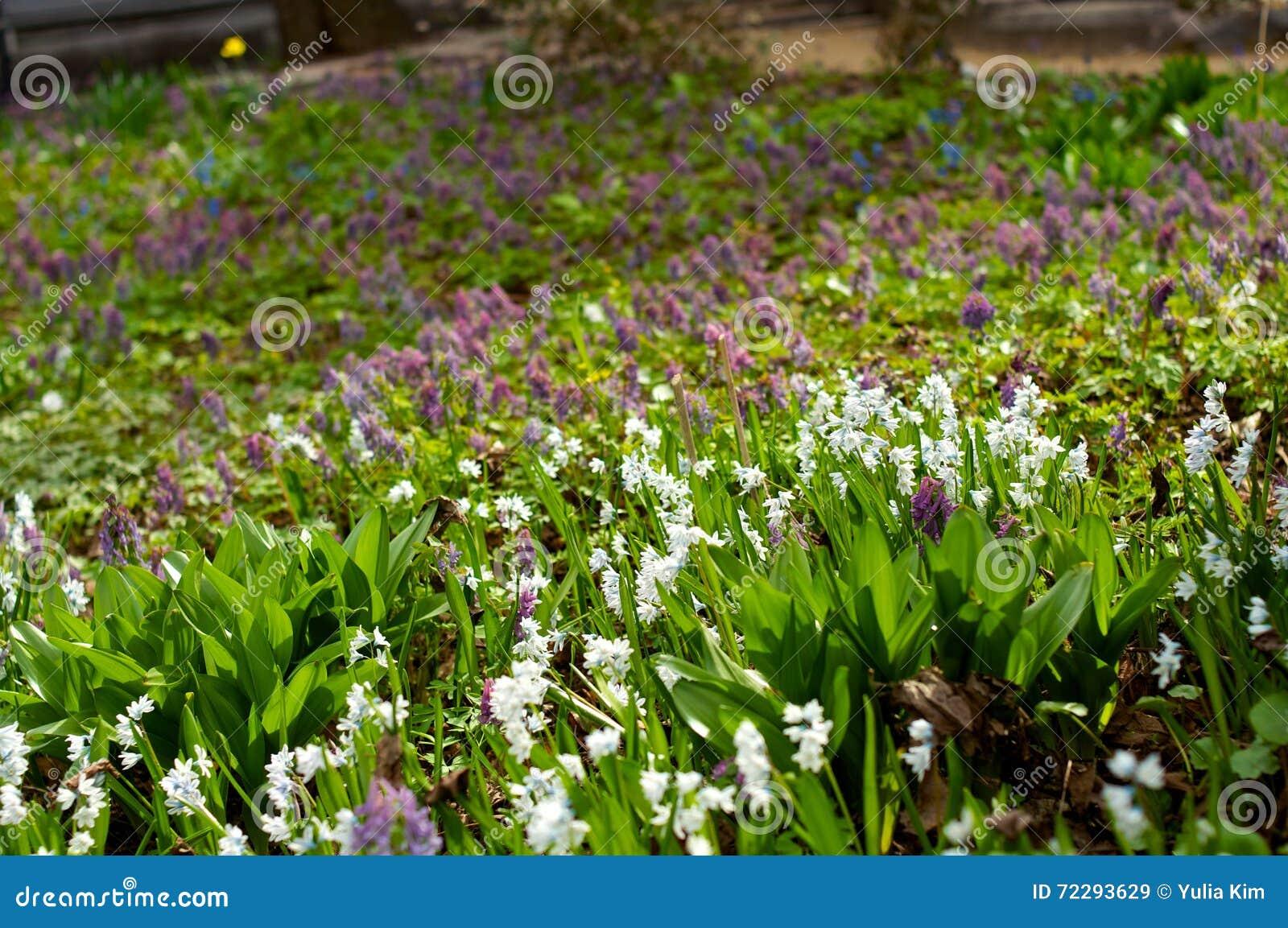 Download Flowerbed Galanthus белого объявления фиолетовый Стоковое Изображение - изображение насчитывающей пуща, green: 72293629