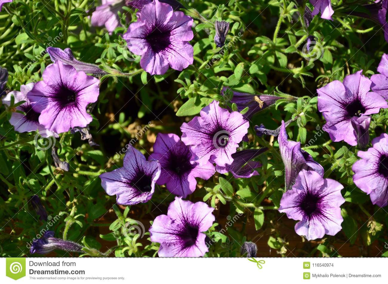 Petunia - leaving from A to Z