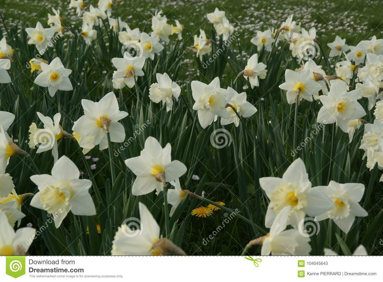 Flowerbed Orchestra Of White Daffodils - France Stock Image