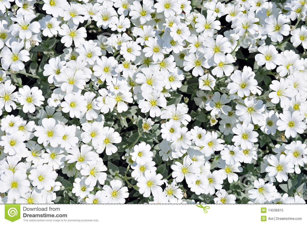 Flowerbed Of White Dianthus Flowers Stock Image Image Of Delicate