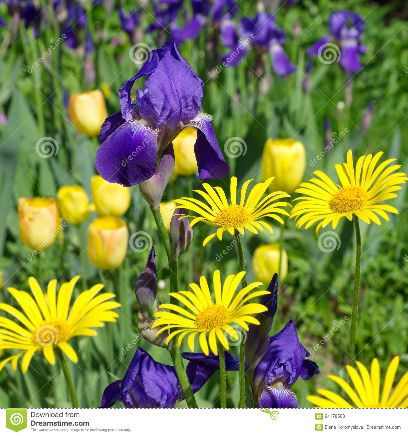Flowerbed With Yellow And Purple Flowers Stock Photo Image Of