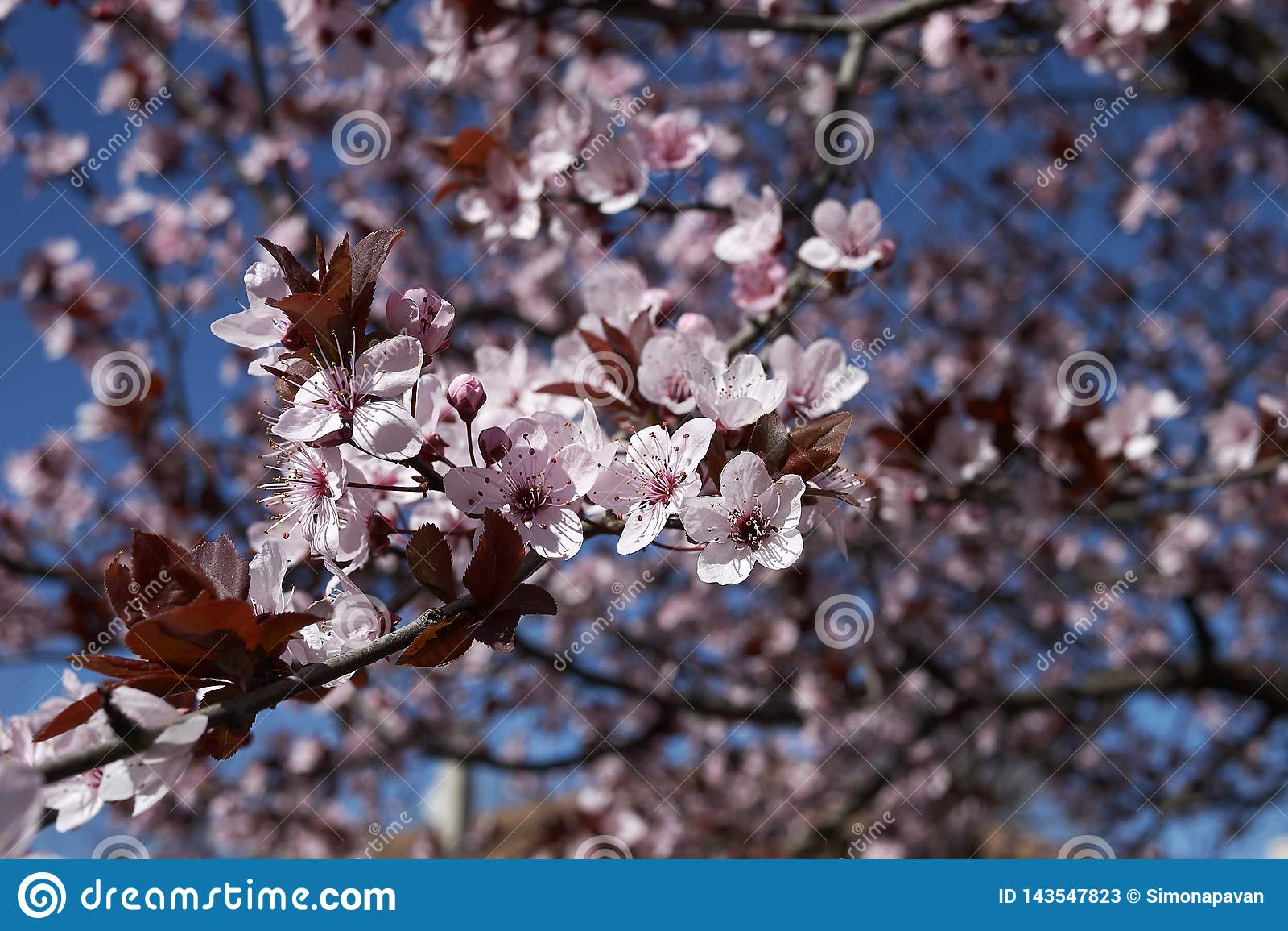 Prunus cerasifera nigra in bloom