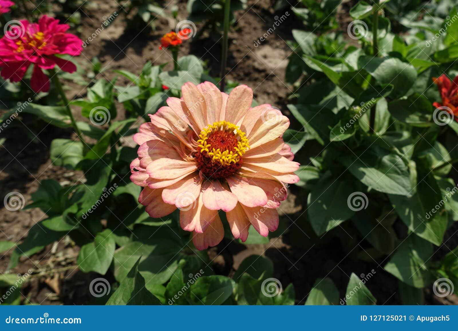 Flowerhead beige rosáceo de los elegans del Zinnia