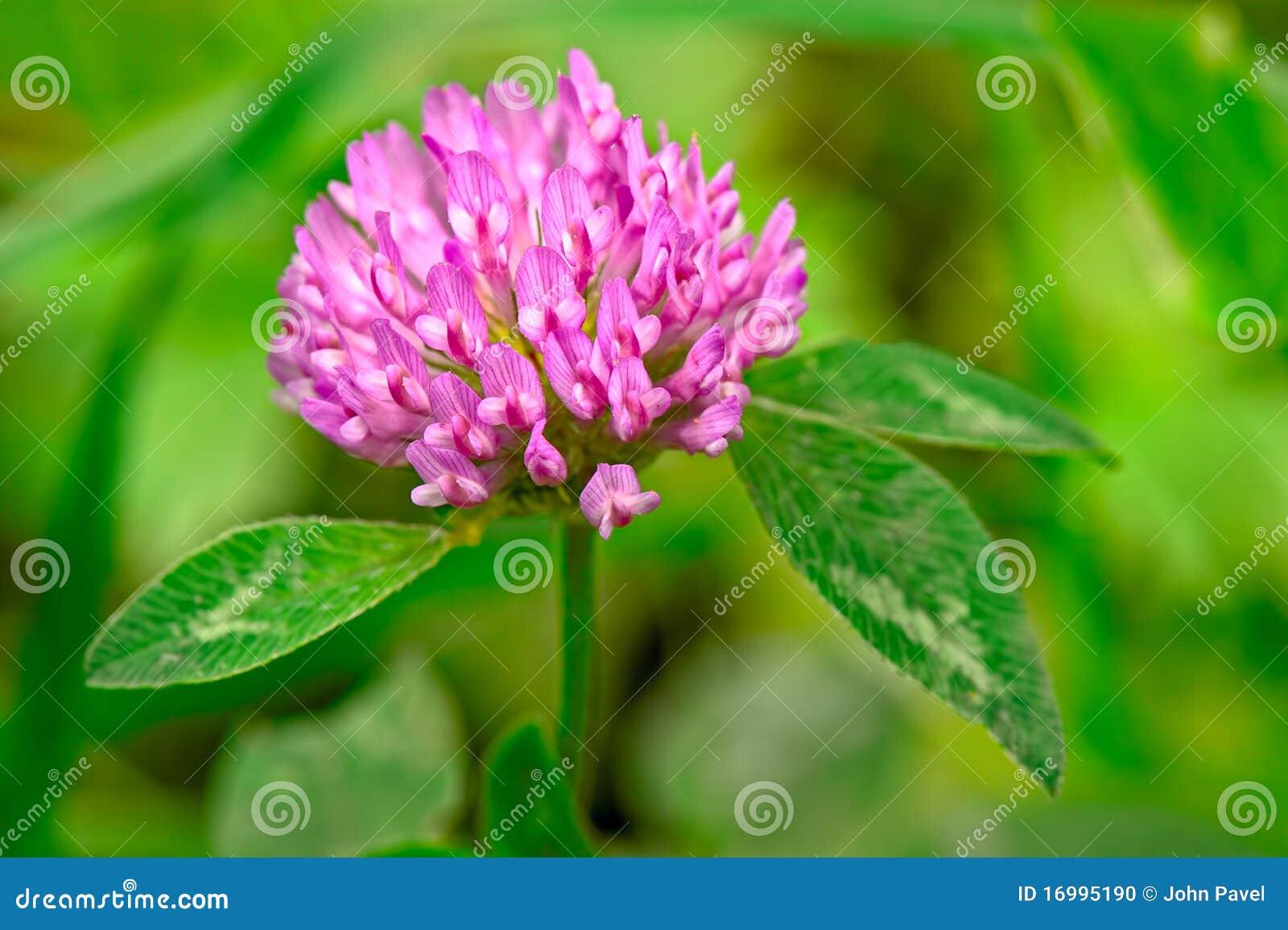 Flowerhead do trevo vermelho (pratense do trifolium)