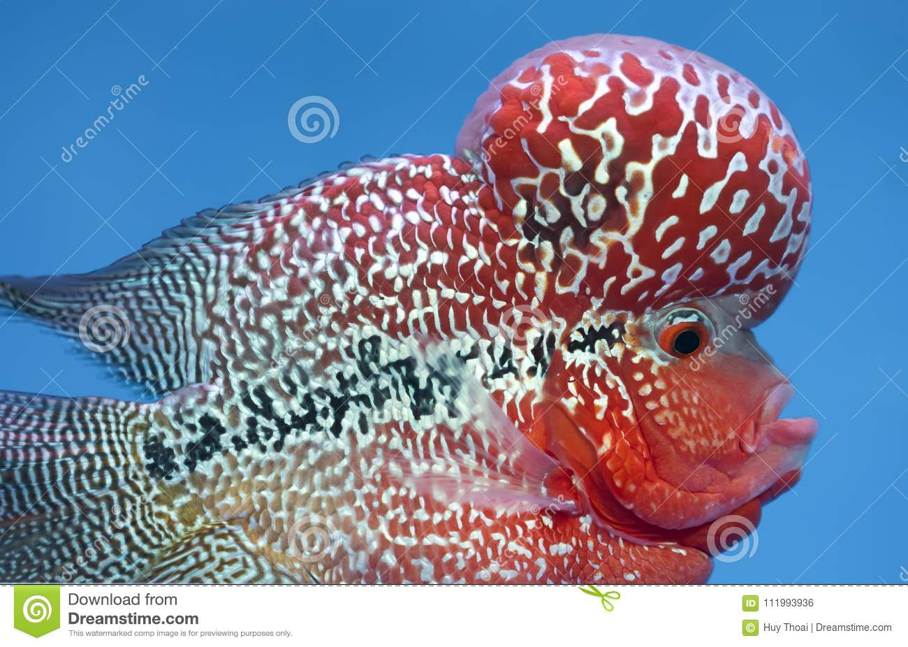 Flowerhorn Cichlid Colorful Fish Swimming In Fish Tank. Stock Photo ...