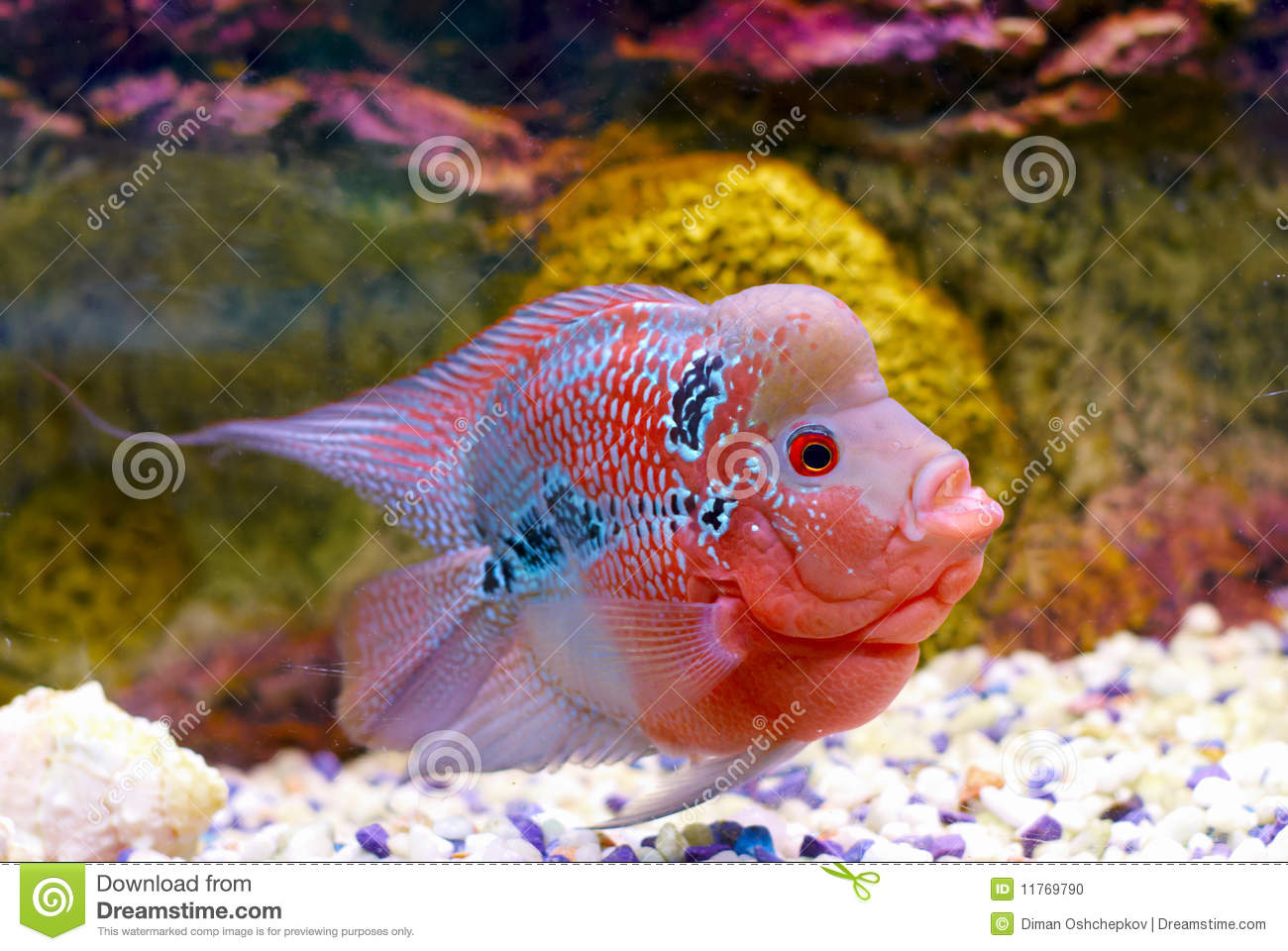 Flowerhorn Cichlid Fish Stock Photo - Image: 11769790