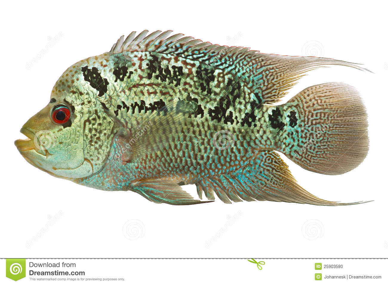 Flowerhorn cichlid fish stock photo image of flowerhorn for Flower horn fish price