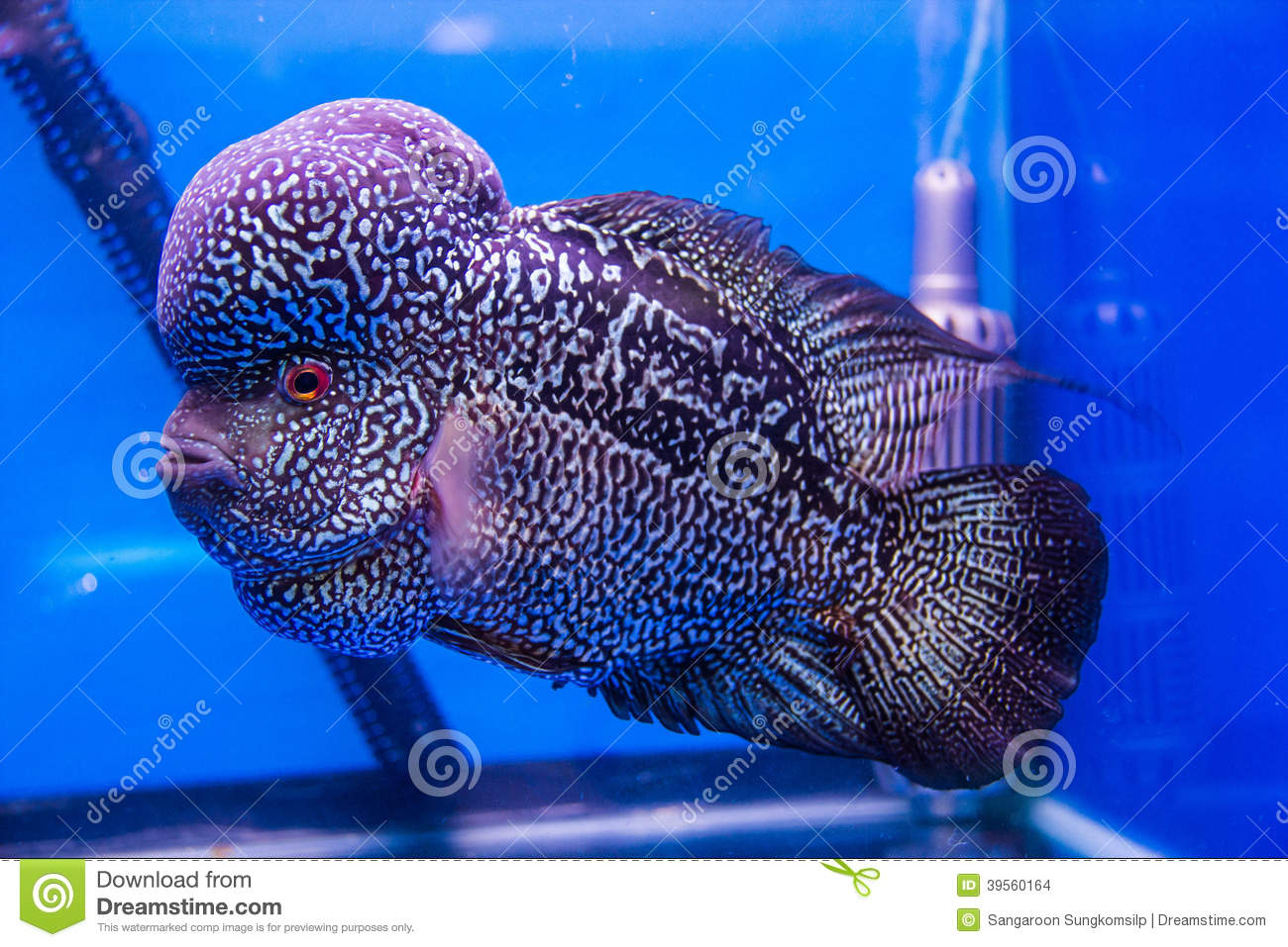Flowerhorn cichlid fish stock photo image of ornate for Flower horn fish price