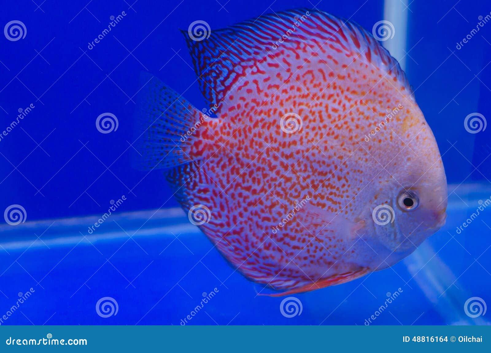 Flowerhorn Cichlid Fish Stock Image