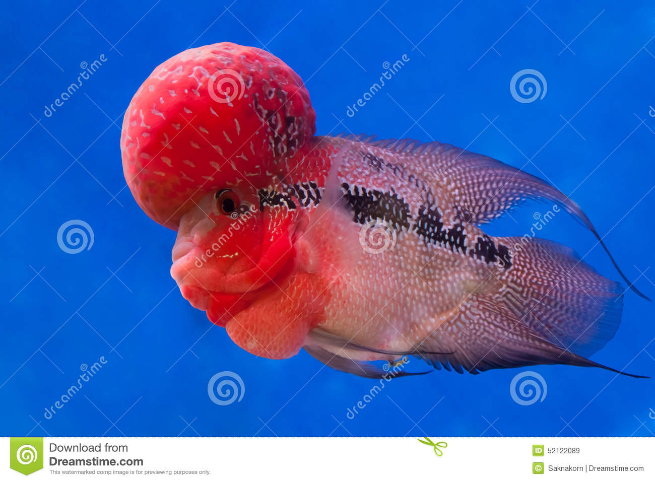 Flowerhorn cichlid fish stock image image of swimming for Flower horn fish price