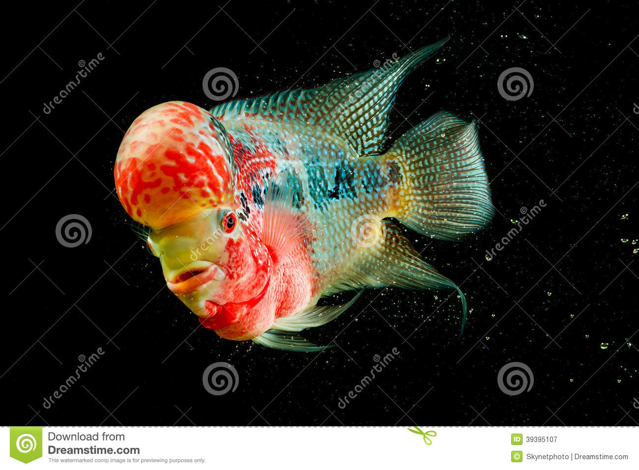 Flowerhorn cichlid fish stock image image of diving for Flower horn fish price