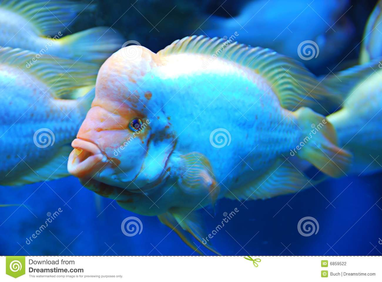 Flowerhorn fish stock photography image 6859522 for Flower horn fish price