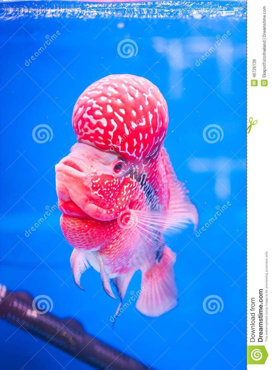 Flowerhorn fish stock photo image 46726139 for Flower horn fish price