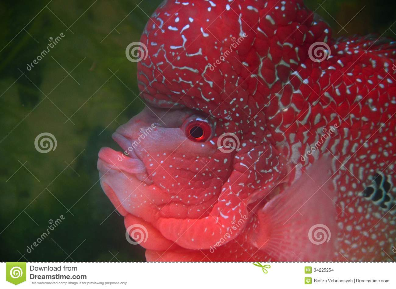 Flowerhorn fish cichlid stock photo image of contest for Flower horn fish price