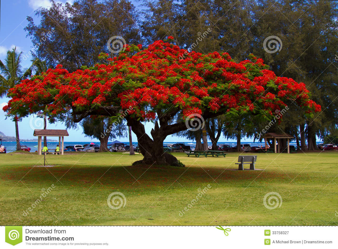 Flowering African Tulip Tree Royalty Free Stock Photography - Image ...
