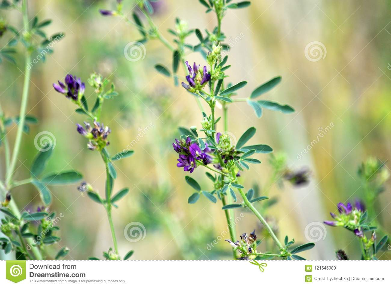 Flowering Alfalfa Seedlings Stock Photo Image Of Green