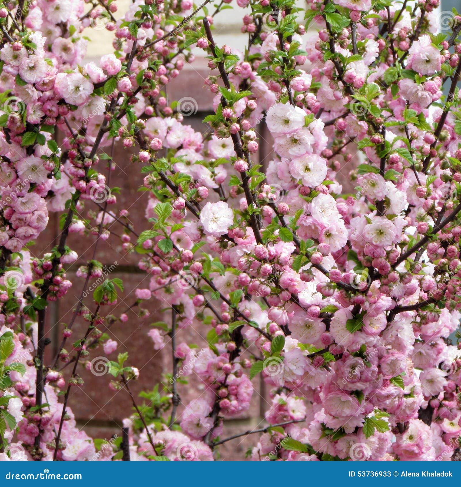 Flowering Almond Stock Image