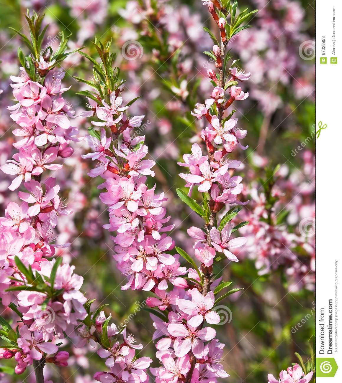 Flowering Almond Steppe Stock Image