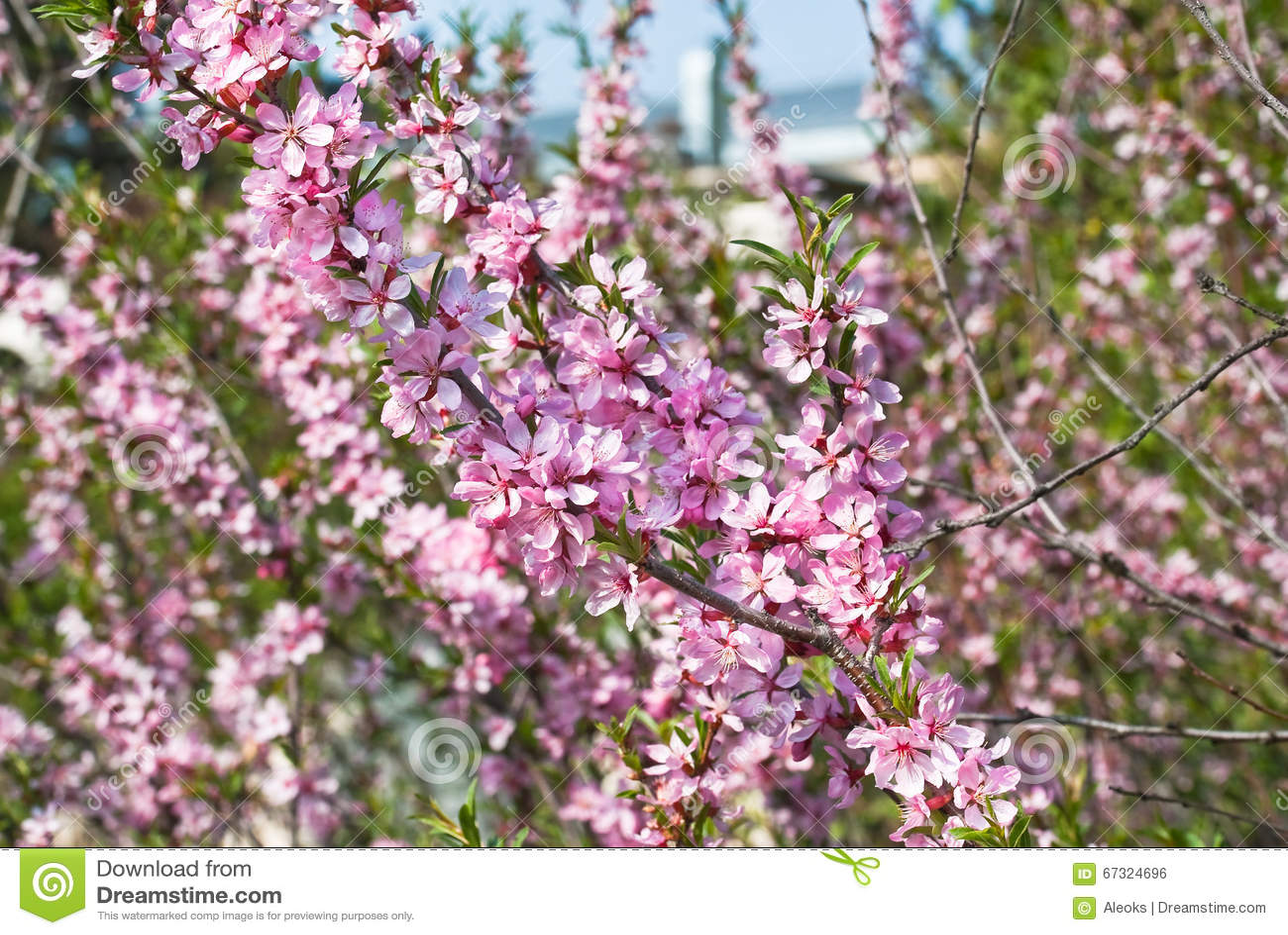 Flowering almond steppe stock photo image of bush plum 67324696 download comp mightylinksfo