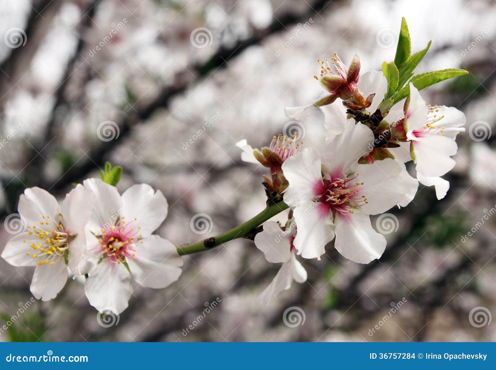 Flowering Almond Tree Stock Image