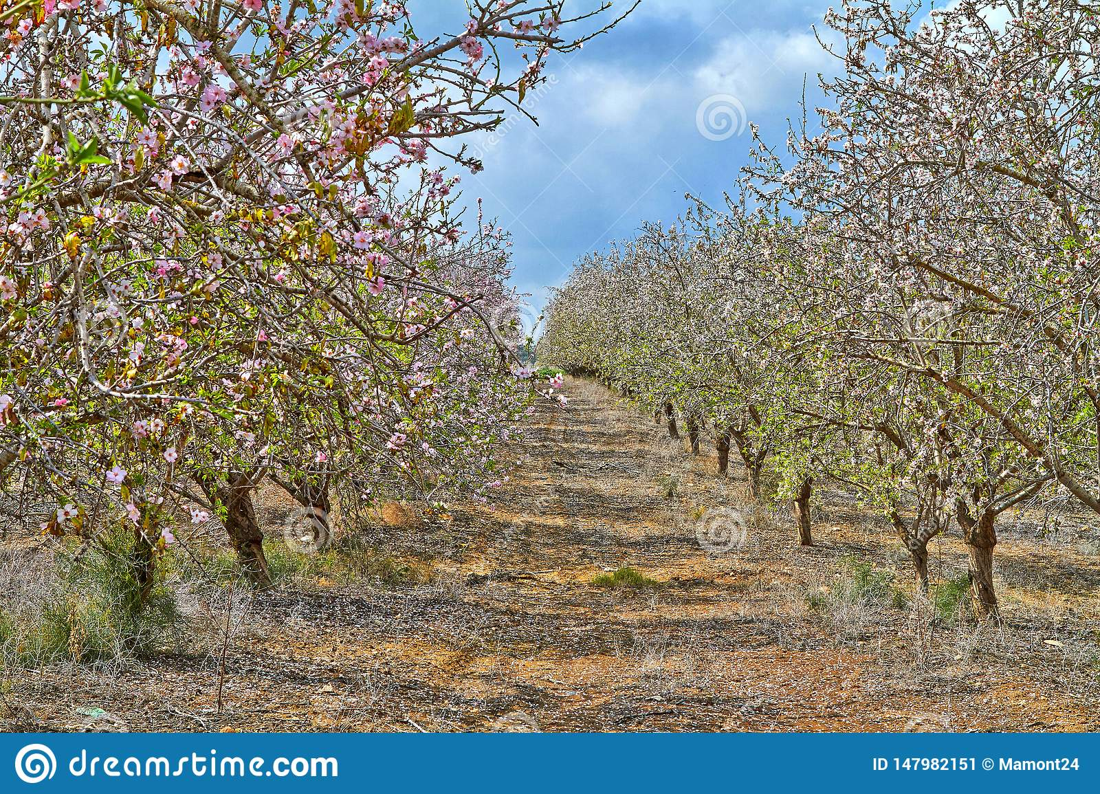 Flowering almond trees in the countryside