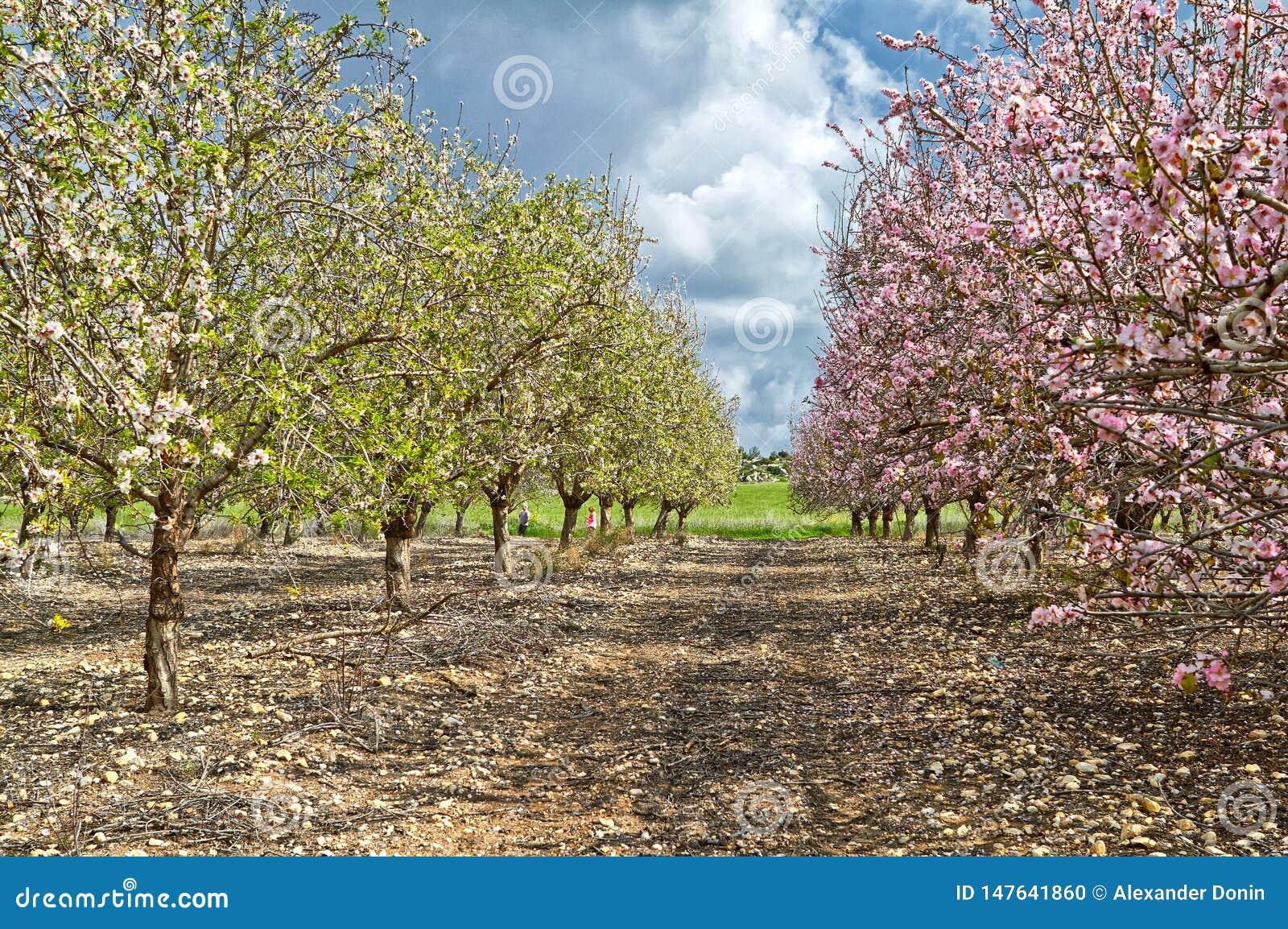 Flowering almond trees