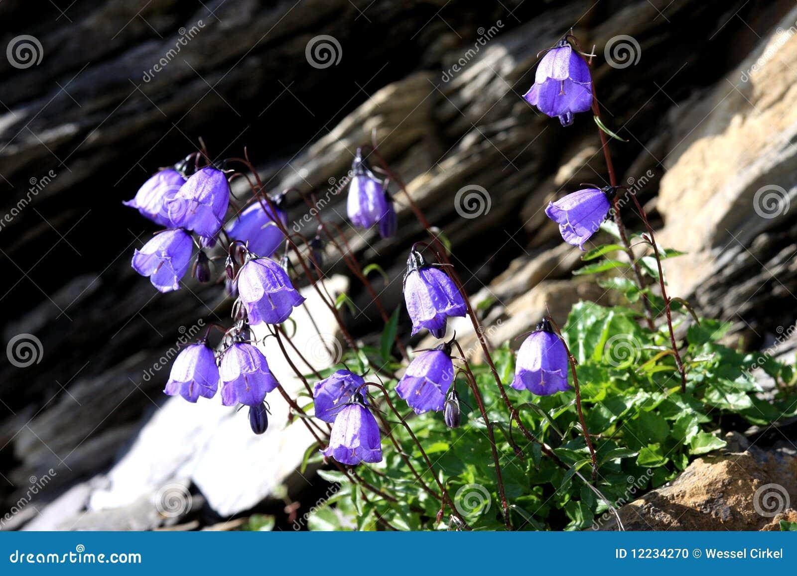 Flowering alpine bellflower in the Swiss mountains