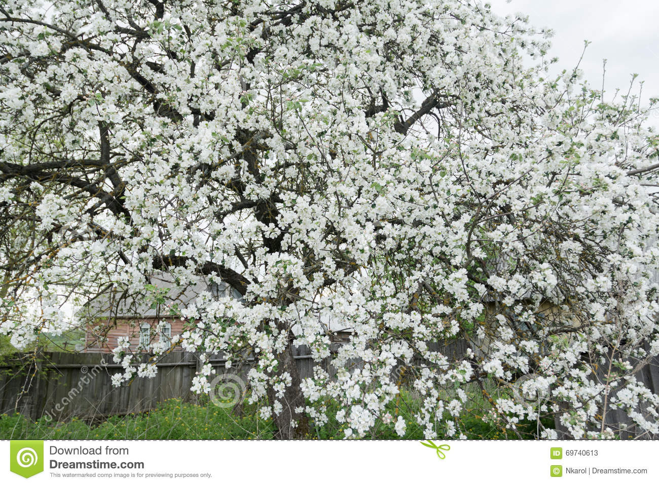 Flowering Apple Tree In Spring Garden Covering With Snowy White